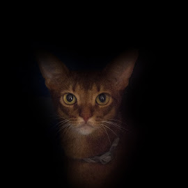 The Stare by Tom Shope - Animals - Cats Portraits ( kitten, cat, stare, dark, eyes )