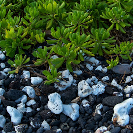 Lava & Coral Beach by Jim Downey - Nature Up Close Rock & Stone ( coral, lava, beach, hawaii, big island )