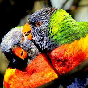 The Happy Couple by Ralph Harvey - Animals Birds ( bird, wildlife, ralph harvey, bristol zoo, lorikeet )