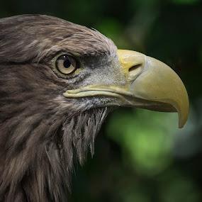 aguila by Miguel Lopez De Haro - Animals Birds ( aves, aguila, retrato, naturaleza,  )