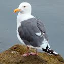 Western Gull adults