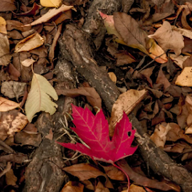 stand out! by Dulce Torres - Nature Up Close Trees & Bushes ( fall, leaves )