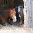 Anglo Arab, Shetland Pony