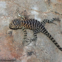 Granite Spiny Lizard (Juvenile)