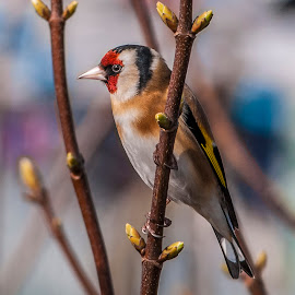 Goldfinch by David Charlton Photos - Novices Only Wildlife (  )