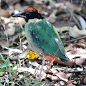 Noisy Pitta
