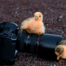 Camera and ducks by Cristobal Garciaferro Rubio - Animals Other ( canon, camera, duck, little duck )