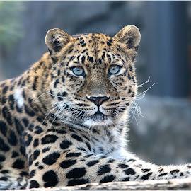 Under Examination by Dennis Ba - Animals Lions, Tigers & Big Cats