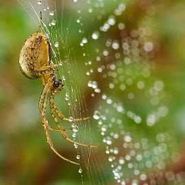 Garden spider after the rain by Sue Blythe - Nature Up Close Webs ( web, raindrops, spider, bokeh, rain,  )