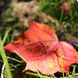 Red Leaf by Ashley McCuen - Nature Up Close Leaves & Grasses ( michigan, walking, red, solo, pathway, park, nature, one, nature up close, leaf,  )