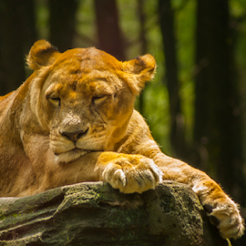 = Nap Time = by Wiji Yudhi - Animals Lions, Tigers & Big Cats ( lion, cat, sleep, portrait, animal )