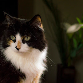 Sushi #2 by Christopher Fenning - Animals - Cats Portraits ( black and white cat, cat posing, cat, black and white, cat portrait, cute )