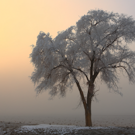 Alone.... by Dennis Ducilla - Landscapes Prairies, Meadows & Fields ( winter, cold, single tree, fog, nevada, frost, trees, sunrise )