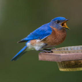 Bluebird chasing off other birds by Robert Strickland - Animals Birds ( bright, nice, passer, birds, feather, predator, bluebird, time, tree, nature, fulvus, raptor, falconry, griffon, black, flower, element, isolated, wild, wing, singing, parent, prey, hawk, sitting, horizontal, outdoors, owl, branch, endangered, perching, small, graphic, tropical, retro, wildlife, cute, vultur, drawing, character, berry, predatory, bilberry, carrion, beautifully, gyps, vulture, vintage, wingspan, beautiful, plumage, up, sparrow, haliaeetus, bird, hunter, flight, pattern, pet, background, beak, falcon, cut, standing, garden, design, studio, cartoon, wise, illustration, wisdom, shot, robin, ornithology, owlet, wings, fruit, eagle, symbol, white, forest, winter, environment, sweet, fly, food, adorable, songbird, floral, scavenger, beauty, photography, flying, carnivore, condor, vector, animal, icon, avian, vertebrate, photo, color, blue, brown, house sparrow )