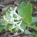 Western White Honeysuckle