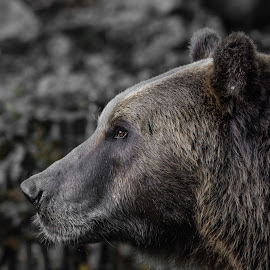Bear by Jean-Marc Schneider - Animals Other Mammals (  )