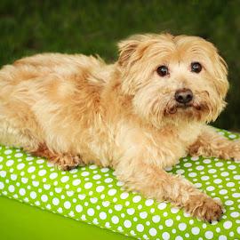 Sparky  by Tonya Sheetz - Animals - Dogs Portraits ( animals, dogs, dog, portrait, animal )