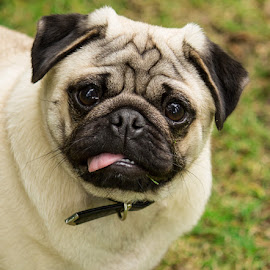 Pugsi by Tracey Dolan - Animals - Dogs Portraits