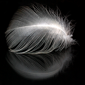 Gull Feather Reflection by Phil Le Cren - Artistic Objects Other Objects ( gull feather reflection, reflection, artistic, object, gull feather, feather )