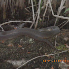 Redbelly Watersnake