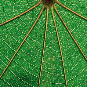 RADIAL by Neelakantan Iyer - Nature Up Close Leaves & Grasses (  )