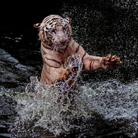 Tiger white.. by Ubayoedin As Syam - Animals Lions, Tigers & Big Cats