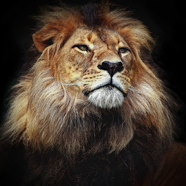 Mujambi by Deb Thomas - Animals Lions, Tigers & Big Cats ( lion, cat, male, big, animal,  )