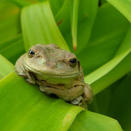 happy frog by Dennis Salmon - Animals Amphibians