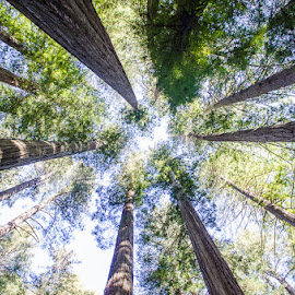 Pacific Coast Redwoods by Jeff Carpenter - Landscapes Forests ( tree, california, pacific, forest, coast, redwood )