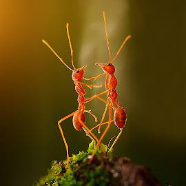 the dancing ants by Rhonny Dayusasono - Animals Insects & Spiders