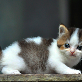 by Cacang Effendi - Animals - Cats Kittens ( bekasi, kitten, cat, indonesia, animal, chandracattery )