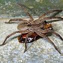 Wolf Spider, Aranha-de-Jardim(Brazil)