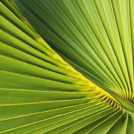 Palmistry by Steve Coleman - Nature Up Close Other plants ( plant, palm, green, frond, sabal palm, leaf, radiating lines, straight lines, vertical lines, pwc )