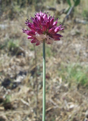 Allium sphaerocephalon, Aglio delle bisce, ail à tête ronde, ball-headed onion, Kugellauch, Round Headed Leek, round-headed garlic, round-headed leek