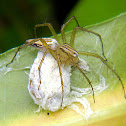 lynx spider (with egg sac)