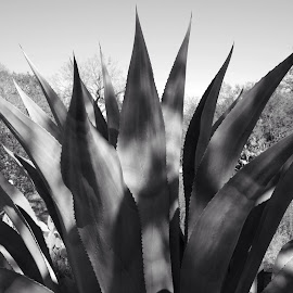 Century Plant in Black and White by Steve Munford - City,  Street & Park  City Parks ( nature, sabot, black and white, century plant, plants )