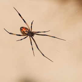 Widow Maker by Penny Deal - Nature Up Close Webs ( arachnid, web, spider, hourglass, fear )