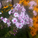 Phlox and Black Eyed Susans