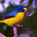 Yellow Throated Euphonia