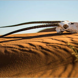 Oryx Scull on Dune by Rick Venter - Landscapes Deserts