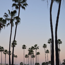 Palm Trees in the Sunset by Rebecca Alderson - Landscapes Beaches ( sky, california, sunset, palm trees, beach )