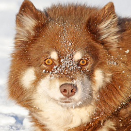 Snowy by Mia Ikonen - Animals - Dogs Portraits ( finnish lapphund, beautiful, snow, finland, at ease,  )