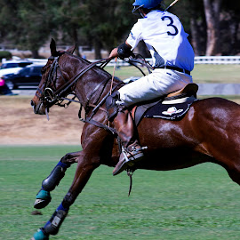 Polo Pony In Action by Matt Quina - Sports & Fitness Other Sports