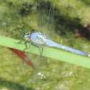 Eastern Pondhawk Dragonfly (male)