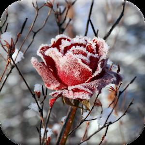 Зимние Цветы Живые Обои
