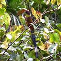 Sumatran Treepie