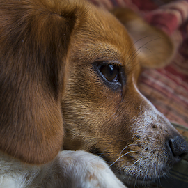 Camera shy by Cindi Poole - Animals - Dogs Puppies ( canon, nc, chegle, puppy, snow day, beagle, dog, new puppy, camera shy )
