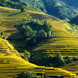 Season by Amateur Pic - Landscapes Prairies, Meadows & Fields ( rice field, season, vietnam, yen bai, amateurpic )