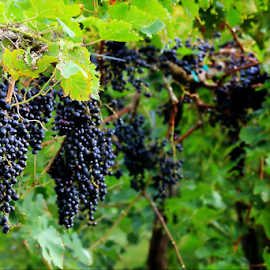 Grapes on the Vine by Darlene Lankford Honeycutt - Nature Up Close Gardens & Produce ( vineyard, grape vines, nature, dl honeycutt, gardens )