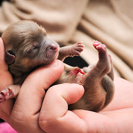 Newborn Chihuahua by Neil Mcfarlane - Animals - Dogs Puppies ( newborn chihuahua, puppy, baby, young, animal )